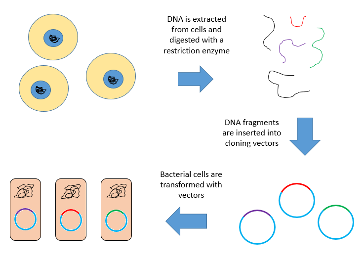 Difference Between cDNA and Genomic Library