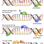Difference Between Base Excision Repair and Nucleotide Excision Repair