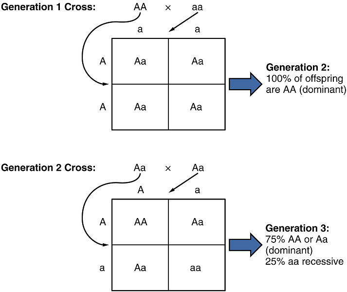 relationship between linked genes and independent assortment