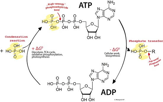 Key Difference - Glucose and ATP