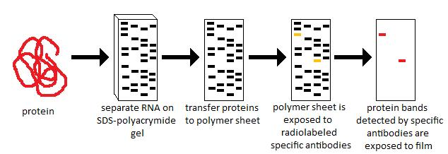 Key Difference - SDS Page vs Western Blot