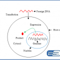 Difference Between Transient and Stable Transfection