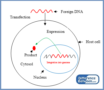 Key Difference - Transient vs Stable Transfection