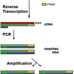 Difference Between RT PCR and QPCR