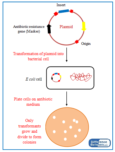 Key Difference - Transformants vs Recombinants