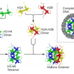 Difference Between Histone and Nonhistone Proteins