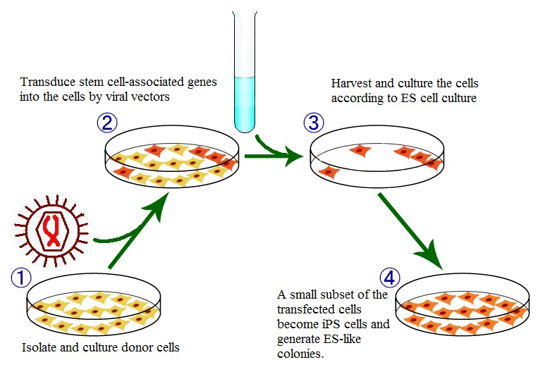 Difference Between IPS Cells and Embryonic Stem Cells