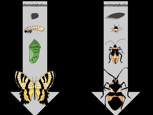 Difference Between Metagenesis and Metamorphosis