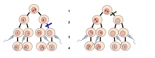 Key Difference - Nondisjunction in Meiosis 1 vs 2