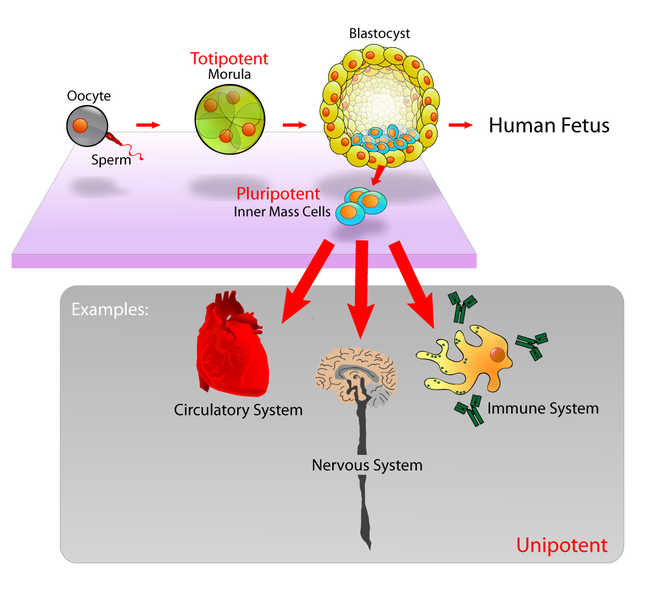 Difference Between Umbilical Cord Stem Cells and Embryonic Stem Cells