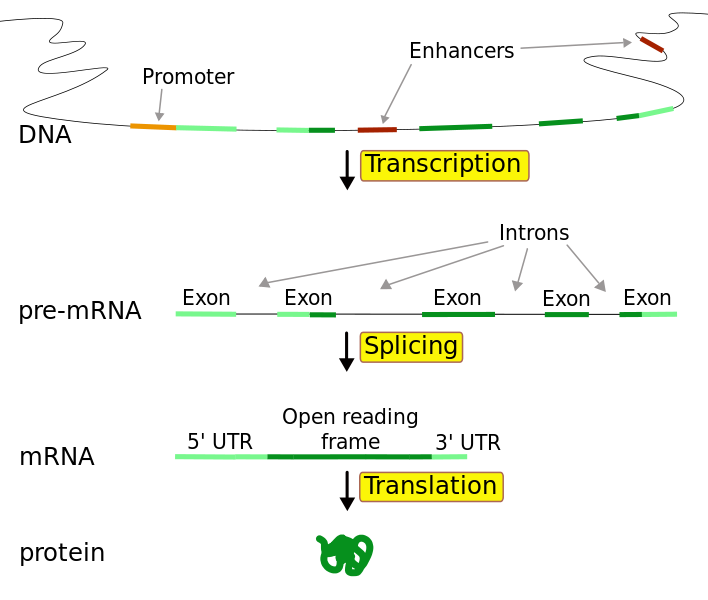 Difference Between Coding and Noncoding DNA