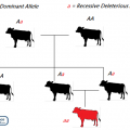 Difference Between Heterosis and Inbreeding Depression