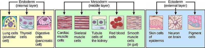 Difference Between Organogenesis and Somatic Embryogenesis