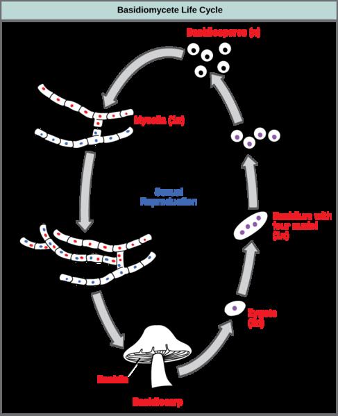 Key Difference - Plasmogamy vs Karyogamy