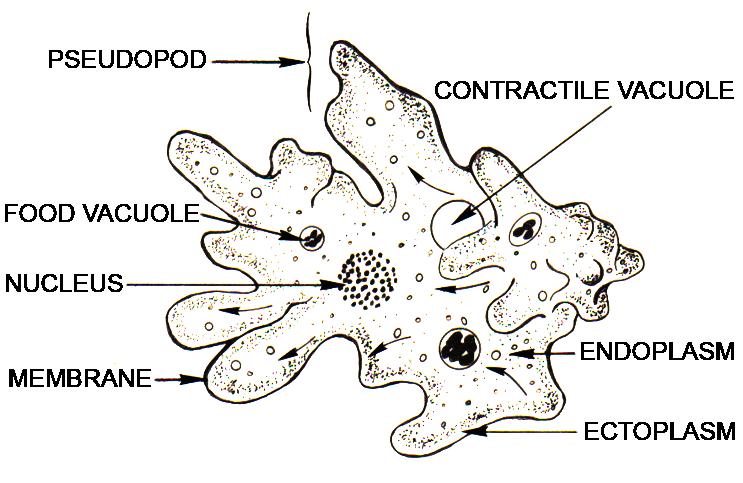 Key Difference - Ectoplasm vs Endoplasm
