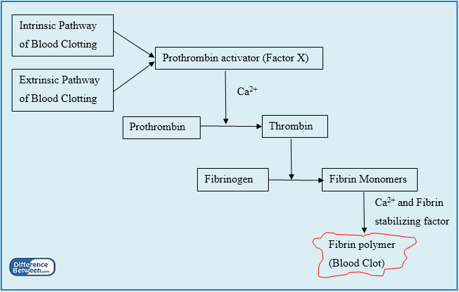 Key Difference - Intrinsic vs Extrinsic Pathways in Blood Clotting