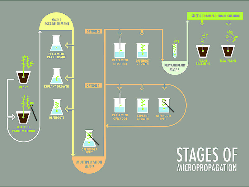 Difference Between Micropropagation and Somatic Cell Hybridisation