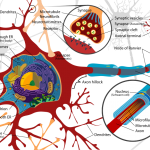 Difference Between Myelinated and Unmyelinated Axons