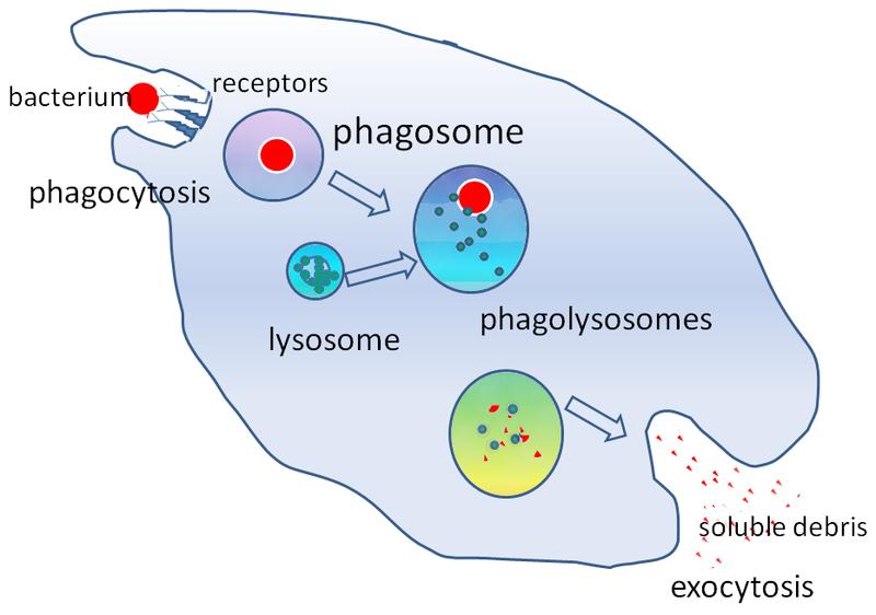 Key Difference - Phagocytes vs Lymphocytes