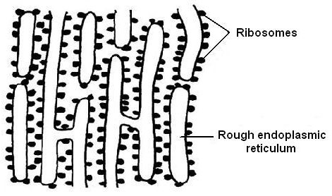 Key Difference - Free vs Attached Ribosomes
