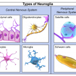 Difference Between Glial Cells and Neurons
