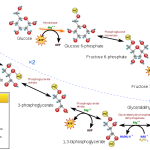 Difference Between Glycolysis and TCA Cycle