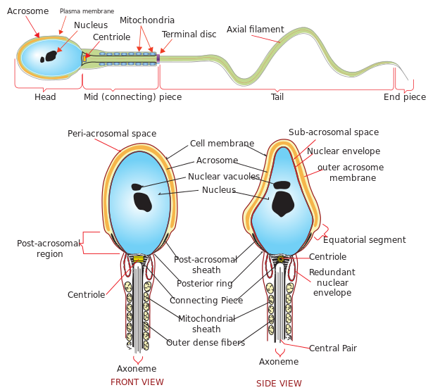 Difference Between Male and Female Gametes