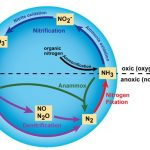 Difference Between Nitrifying and Denitrifying Bacteria