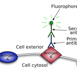 Difference Between Primary and Secondary Antibody