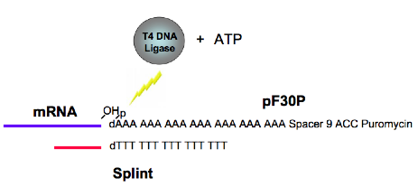 Difference Between T4 and T7 DNA Ligase