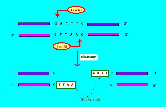 Difference Between Type I and Type II Restriction Enzyme