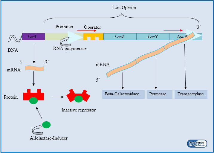 inducible enzymes are usually involved in anabolic pathways