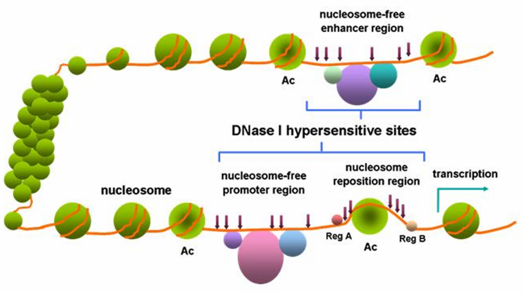Difference Between Benzonase and DNase
