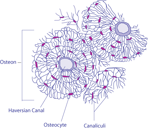 Difference Between Chondrocytes and Osteocytes