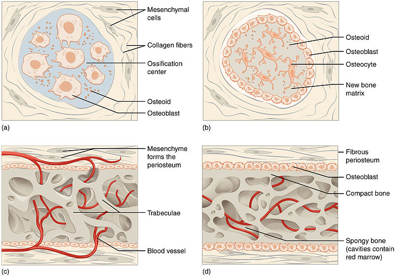 Difference Between Endochondral Ossification and Intramembranous Ossification