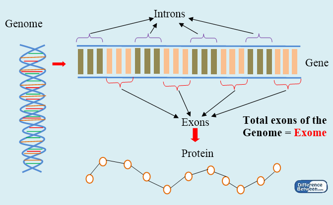 Key Difference - Genome vs Exome