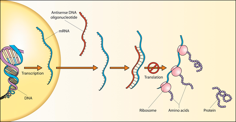 Key Difference - Oligonucleotide vs Polynucleotide