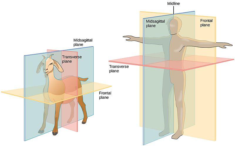 Median plane anatomy