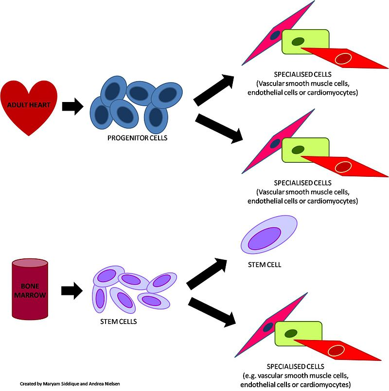 Difference Between Progenitor Cells and Stem Cells