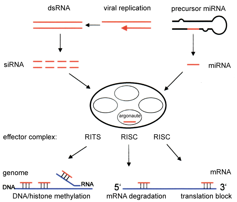 Key Difference Between CRISPR and RNAi