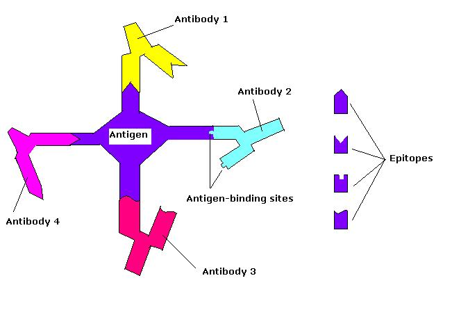Difference Between Epitope and Paratope