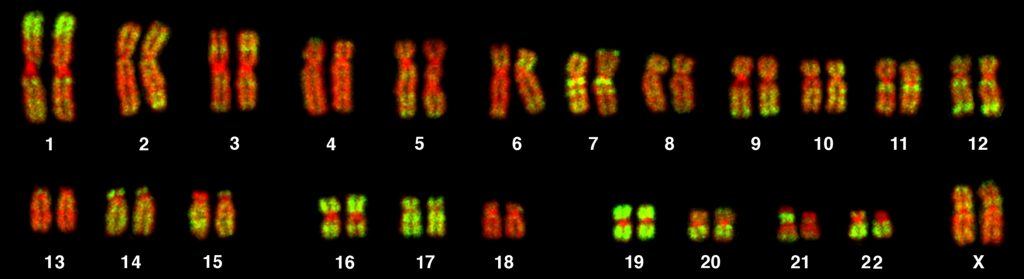 Key Difference Between Male and Female Karyotypes