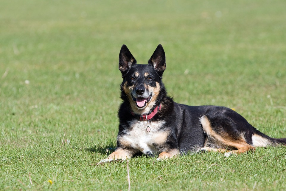Difference Between Mixed breed and Cross breed