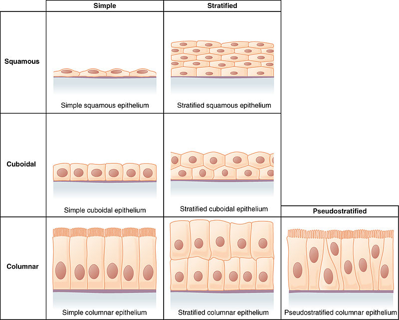 Difference Between Simple and Stratified Epithelial Tissue
