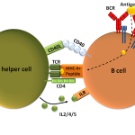 Difference Between T Cell Dependent and Independent Antigens