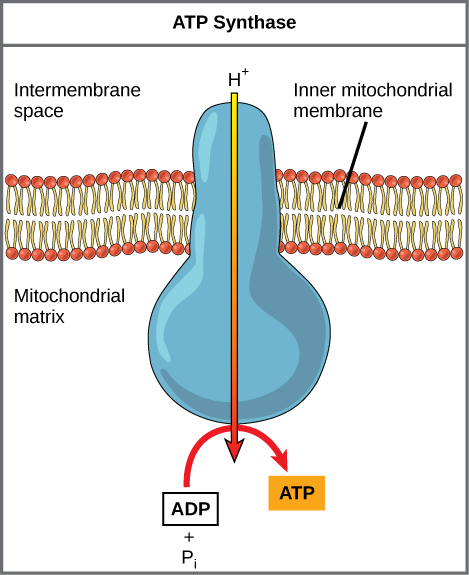 Key Difference Between ATPase and ATP Synthase
