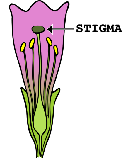 Key Difference - Anther vs Stigma