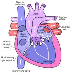 Difference Between Bicuspid Valve and Tricuspid Valve
