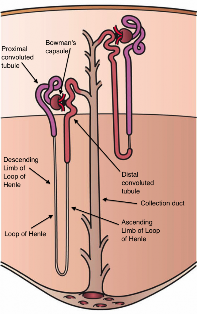 Difference Between Bowman's Capsule and Glomerulus