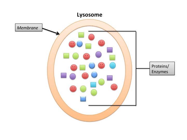 Difference Between Primary and Secondary Lysosomes